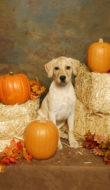 Free A Yellow Lab With Hay Bales And Pumkins Stock Image - 23432521