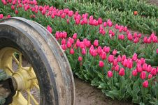 Pink Tulips In Field Royalty Free Stock Photos