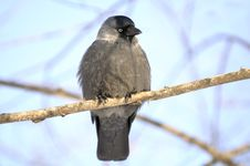 Jackdaw &x28;Coloeus Monedula&x29; Sitting On Tree Branch Royalty Free Stock Image