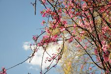 Free Sakura In Spring Royalty Free Stock Images - 23442989