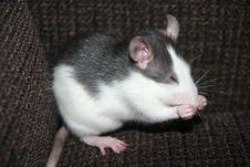 Free Rat Washing Herself Stock Photo - 23447980