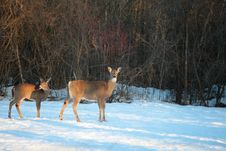 White-tailed Deer In Winter Royalty Free Stock Photos