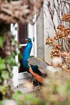 Peacock By The Window Stock Image