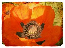 Free Red Poppy. Old Postcard Royalty Free Stock Images - 23459139