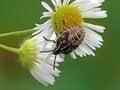 Free Nymph Of Shieldbug Royalty Free Stock Photography - 23467227