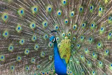 Free Peacock Stock Images - 23462664