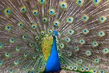 Free Peacock Displaying Tail Royalty Free Stock Photography - 23462677