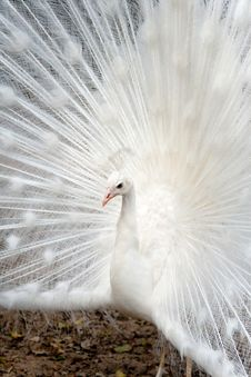 Free White Peacock Stock Photography - 23462862