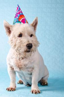 Free West Highland Terrier Stock Image - 23465981