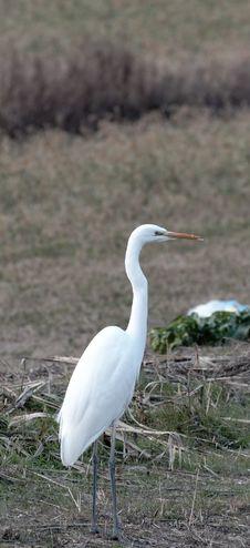 Free White Heron Stock Photos - 23468803