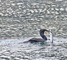 Free Cormorant Stock Images - 23469264