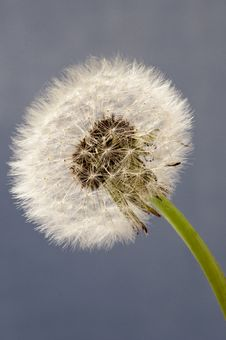 Free Dandelion Close Up On Blue Background Royalty Free Stock Image - 23469396