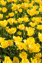 Free Yellow Tulips Stock Photography - 23472542