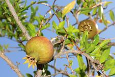 Free Pomegranate Tree Stock Photos - 23472383