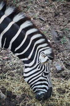 Free Zebra Stock Photo - 23472990