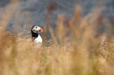 Cute Puffin Bird Stock Photo