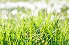 Free Fresh Green Grass Royalty Free Stock Image - 23478906