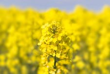 Free Close Up Of A Rape Field Royalty Free Stock Photos - 23478958