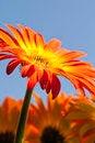 Free Vibrant Yellow And Orange Gerber Daisy Stock Photo - 23486970