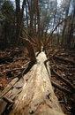 Free Fallen Pine Tree Stock Photos - 23489443