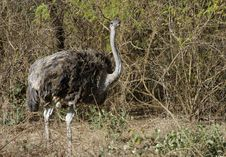 Free Ostrich In The Savannah Stock Image - 23484491