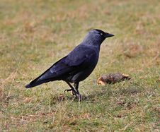 Close Up Of A Jackdaw Standing On The Ground Stock Photos