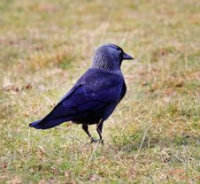 Close Up Of A Jackdaw Standing On The Ground Royalty Free Stock Photo