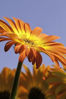 Free Vibrant Yellow And Orange Gerber Daisy Stock Photo - 23486970