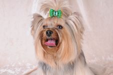Portrait Of Fluffy Yorkshire Terrier Stock Photo