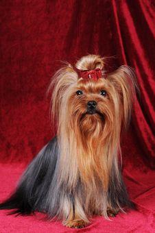 Pretty Yorkshire Terrier Sitting Portrait Stock Image