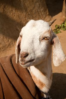 Indian Goat Stock Photography