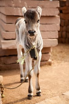 Indian White Cow Baby Stock Photos