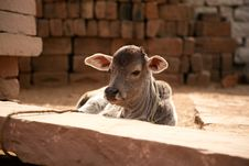 Indian White Cow Baby Stock Photo
