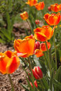 Free Glowing Tulips Royalty Free Stock Photos - 2352318