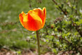Free Glowing Tulips Stock Photo - 2352320