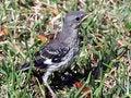 Free Baby Mocking Bird Stock Image - 2352611