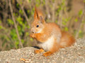 Free Squirrel Eats A Nut Royalty Free Stock Image - 2353736