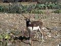 Free Baby Blackbuck Antelope Royalty Free Stock Images - 2356099