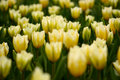 Free Many Yellow Tulips Royalty Free Stock Images - 2356889