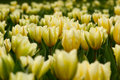 Free Many Yellow Tulips Royalty Free Stock Photography - 2356897