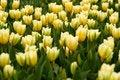 Free Tulips Beauty Stock Photos - 2357463