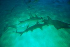 Free Hammerhead Shark Royalty Free Stock Photos - 2350358