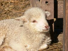 Free Lamb Stock Photo - 2350420