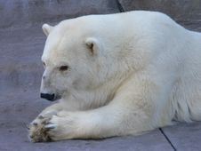 Free Polar Bear Royalty Free Stock Images - 2350449