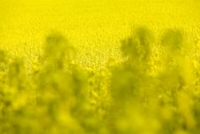 Free Rapeseed Royalty Free Stock Images - 2351169