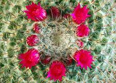 Free Cactus Flowers Stock Photography - 2351402