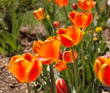 Free Glowing Tulips Royalty Free Stock Photography - 2352317