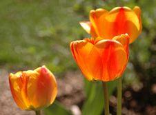 Free Glowing Tulips Stock Image - 2352321