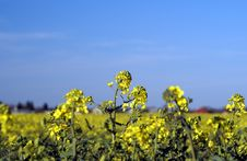 Free Rape Field Royalty Free Stock Images - 2352469