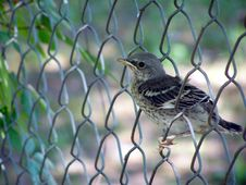 Free Baby Mocking Bird In A Fence Stock Image - 2352751